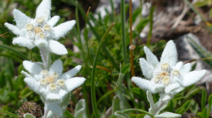 Den Paradisia Alpine Botanisk